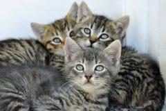 Tre gatti svegli che esaminano la macchina fotografica Fotografia Stock
