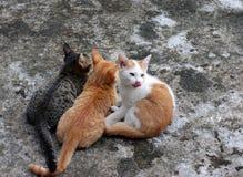 Tre gattini Immagine Stock