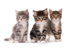 Tre gattini fotografia stock libera da diritti