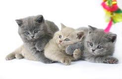 Tre gattini britannici Fotografia Stock
