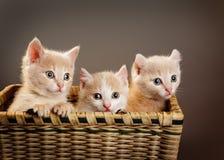 Tre gattini britannici rossi Fotografie Stock Libere da Diritti