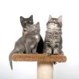 Tre gattini che si siedono sulla torretta Immagini Stock