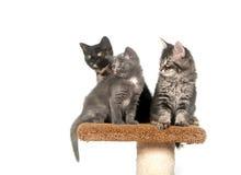 Tre gattini che si siedono sulla torretta Immagine Stock