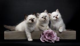 Tre gattini sacri di birmano con la rosa di rosa Fotografia Stock Libera da Diritti