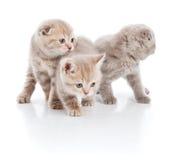 Tre gattini sopra bianco Fotografia Stock