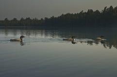 Tre gemensamma lom på nordträ en sjö arkivfoton