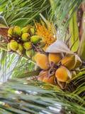 Tre Genenrations av kokosnötter Arkivfoto