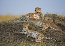 Tre geparder i savannahen kenya tanzania _ Chiang Mai serengeti Maasai Mara royaltyfri foto