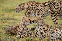 Tre geparder i savannahen kenya tanzania _ Chiang Mai serengeti Maasai Mara Arkivbild