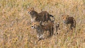 Tre geparder i savannahen kenya tanzania _ Chiang Mai serengeti Maasai Mara arkivfoto