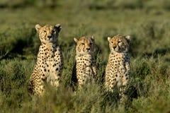 Tre geparder som sitter, Serengeti royaltyfri foto