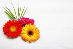 Tre Gerberablommor på den vita trätabellen Vårgarnering med tusenskönablomman Royaltyfri Fotografi