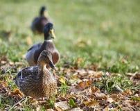Tre germani reali maschii dell'anatra su erba Fotografia Stock
