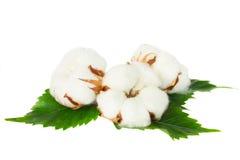 Tre germogli della pianta di cotone Fotografia Stock Libera da Diritti