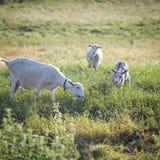 Tre getter som tuggar ett gräs på en gårdsplan Arkivfoton