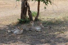 Tre ghepardi sotto un albero Immagine Stock Libera da Diritti