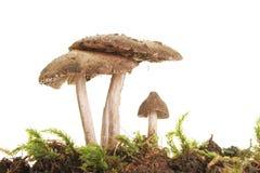 tre giftsvampar Royaltyfri Fotografi