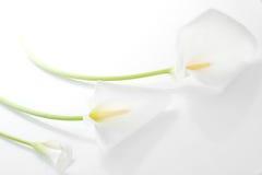 Tre gigli di calla bianchi fotografia stock