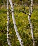Tre giovani curve della betulla sull'orlo di un'erba crescente della palude verde Fotografia Stock Libera da Diritti