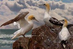 Tre giovani Gannets Fotografia Stock Libera da Diritti