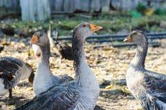 Tre giovani oche domestiche grige nell'uccelliera dell'agricoltore fotografia stock libera da diritti