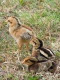 Tre giovani pulcini del bambino Immagini Stock Libere da Diritti