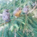 Tre giovani uccelli fotografie stock libere da diritti