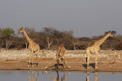 Tre giraffe Immagini Stock