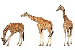 Tre giraffe Fotografia Stock Libera da Diritti