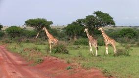 Tre giraffe che camminano dentro intorno nell'Uganda stock footage
