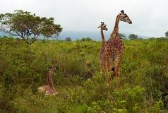 Tre giraffe divertenti nel parco nazionale di Arusha, Tanzania fotografia stock