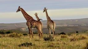 Tre giraffe sulla pianura dell'Africano fotografia stock libera da diritti