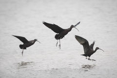 Tre glansiga ibins Arkivfoton