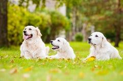 Tre golden retrieverhundkapplöpning utomhus Arkivfoton