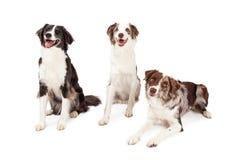 Tre gräns Collie Dogs Sitting And Laying Fotografering för Bildbyråer