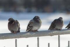 Tre gråa duvor Arkivfoton