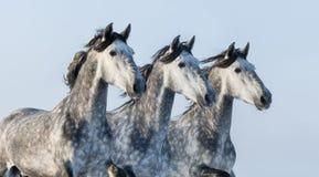 Tre gråa hästar - stående i rörelse Arkivfoto