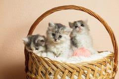 Tre gråa kattungar Arkivfoto