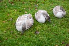 Tre gråa svanar arkivfoto