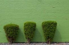 Tre gröna buskar mot en greenwvägg Arkivfoton