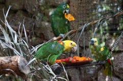 Tre gröna papegojafåglar royaltyfri foto