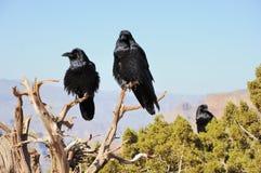 Tre grandi corvi Fotografie Stock Libere da Diritti