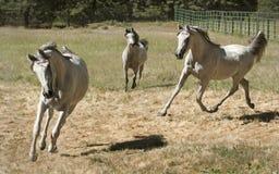 Tre Grey Arabian Horses Running Free royaltyfri foto