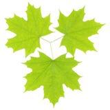 Tre gröna lönnlöv på en vit bakgrund Fotografering för Bildbyråer
