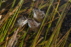 Tre grodor Royaltyfri Fotografi