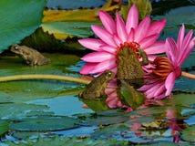 Tre grodor på lotusblomman Arkivbild