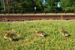 Tre gula kanadensiska gåsfågelungar som går på gräset längs järnvägspåren med gröna träd på bakgrunden royaltyfria foton
