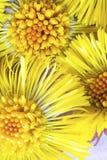 Tre gula ljusa blommor av tussilagot, Tussilagofarfara, bachground f?r medecine, botanisk kosmetisk design wild royaltyfria foton