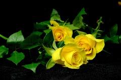 Tre gula rosor på svart sammet Royaltyfria Foton