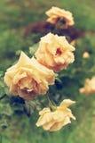 Tre gula terosor i trädgården efter regn arkivfoto